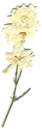 White Larkspur Stem