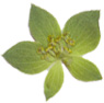 Green Star pressed flower